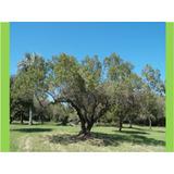 Aruera- Árbol, Arbusto Nativo- Flores, Frutos Decorativos