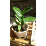 Plantas De Orquideas Dendrobium