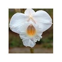 Mudas De Orquídea Arundina (ou Orquídea Bambú) Cor Branca