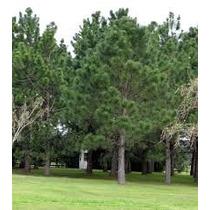 Arbol De Pino Piñonero, Pinus Pinea