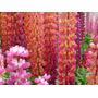 Semillas Flor Lupinos Anual Doble Variado Flores