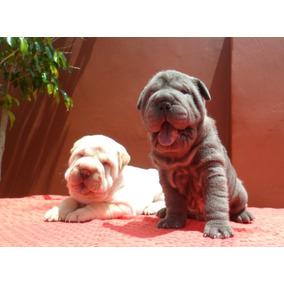 Aldea Of Peis /cachorros Shar Pei ºapricot-cremas-azul-lila