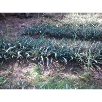Maguey Agave Angustifolia Plantas