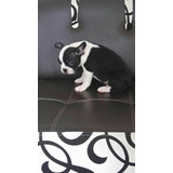 Cachorros Bulldog Frances Machos Negros Blancos Vacas Puros