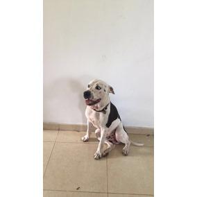 Vendo Perro Pitbull De 1 Año
