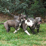 Pitbull Blue Age Of Meka Cachorros Disponibles