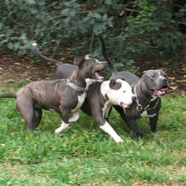 Pitbull Blue Age Of Meka Cachorros Disponibles
