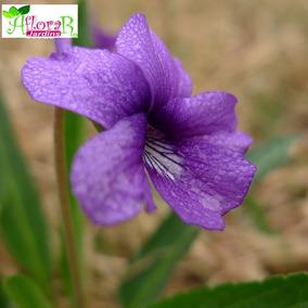 (15) Sementes Violeta Chinesa Selvagem+folheto Como Plantar!