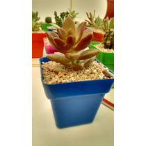 Cactus Y Suculentas Combo X 30 Souvenirs Oferta Últimos Días