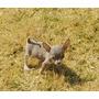 Cachorros Chihuahuas En Toluca