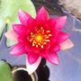 Nenúfar Rojo Nymphaea Sp. Reflective Flame Lirio Acuático