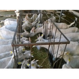Cabras Lecheras, Altas Productoras