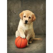 Labrador Cachorros De Padres Importados