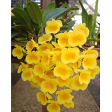 Orquídea De Porte Pequeno Dendrobium Agregatum 4cm