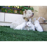 Westy Terrier White