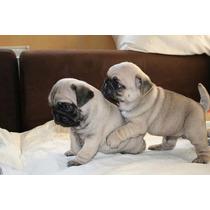 Pug Cachorros