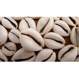 Búzios Conchas Mar 120 Pç - Cauris Abertos Africanos Brancos
