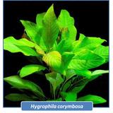 Hygrophila Corymbosa Planta Acuatica Peces