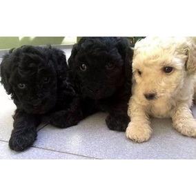 Caniche Mini Micro Toy Macho Negro Cachorros!! (consulte)
