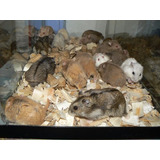Hamster Rusos ; Listo Para Adopción
