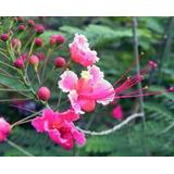 30 Sementes Flamboyant Delonix Rosa Pink, Flor Bonsai Jardim