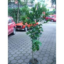 Frutales. Naranjo Valencia Citrus X Sinensis