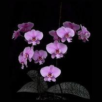 Orquistudio Orquídea Phalaenopsis Adulta Meristema Linda