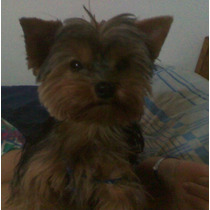 Cachorros Yorshire Mini