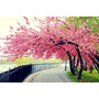 Sementes Sakura Cerejeira Japonesa Prunus Serrulata P/ Mudas