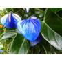 20 Sementes Anturio Azul + Frete Grátis