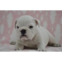 Fêmeas Filhotes Bulldog Inglês Excelente Pedigree Cbkc
