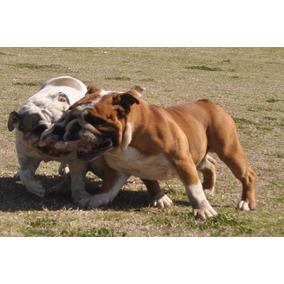 Bulldog Ingles Importado- Servicio De Stud