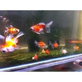 Goldfish Telescópico Calico Butterfly