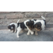 Fox Terrier Wire Con Fca