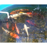 peces carpa koi jumbo