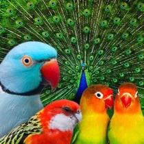 Apostila Criação Aves Ornamentais Comece Certo Sebrae
