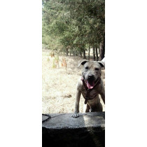American Pit Bull Terrier Para Maquila