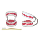 Modelo Dental 32 Dientes Medicina Limpieza Dental Didáctico