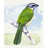 Hormônio Feromônio Pássaro Trinca-ferro Indutor Canto
