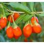 25 Sementes De Goji Berry Certificada Para Produção De Mudas