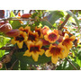 Bignonia Capreolata - Hermosa Trepadora - Cañuelas