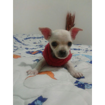 Apizaco Vendo Cachorro Chihuahua