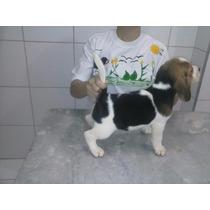Beagle Filhote Macho Com Pedigree