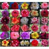 50 Sementes Mix Rosa Do Deserto Adenium Obesum (30 Cores)