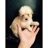Hermosos Poodle Micro Toy