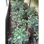 Bonsai Ficus Esmeralda Chico