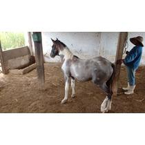 Potro Cavalo Pampa Linhagem Elo Kafé Da Nova