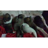 Bulldog Francês - Filhote Com Alto Padrão