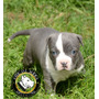 Cachorros Pitbull Blue Age Of Meka Aca Registro Chip