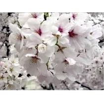 Sakura ( Cerezo Japones) Arbol Ornamental $ 540 Contado